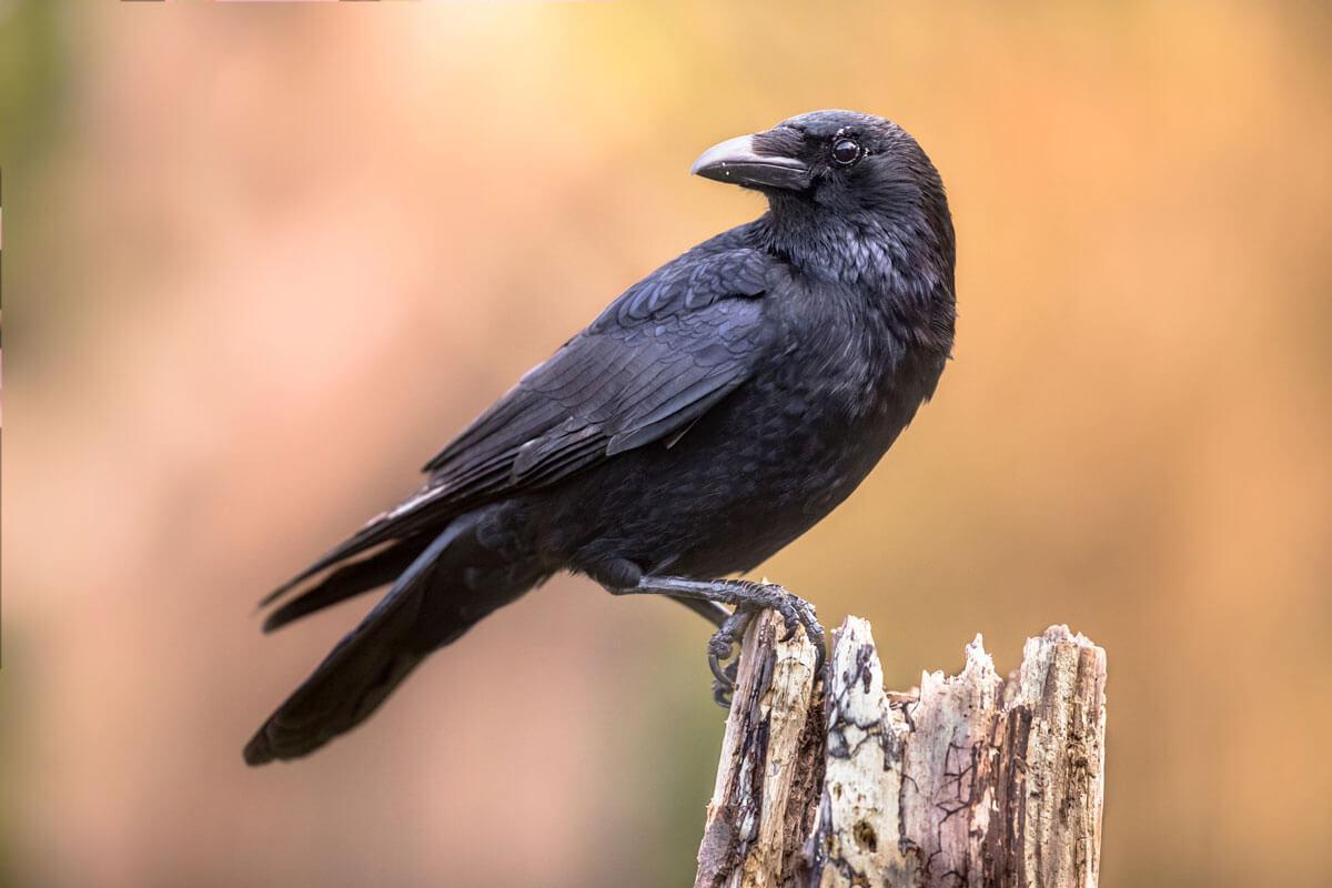 Recruiting Ravens
